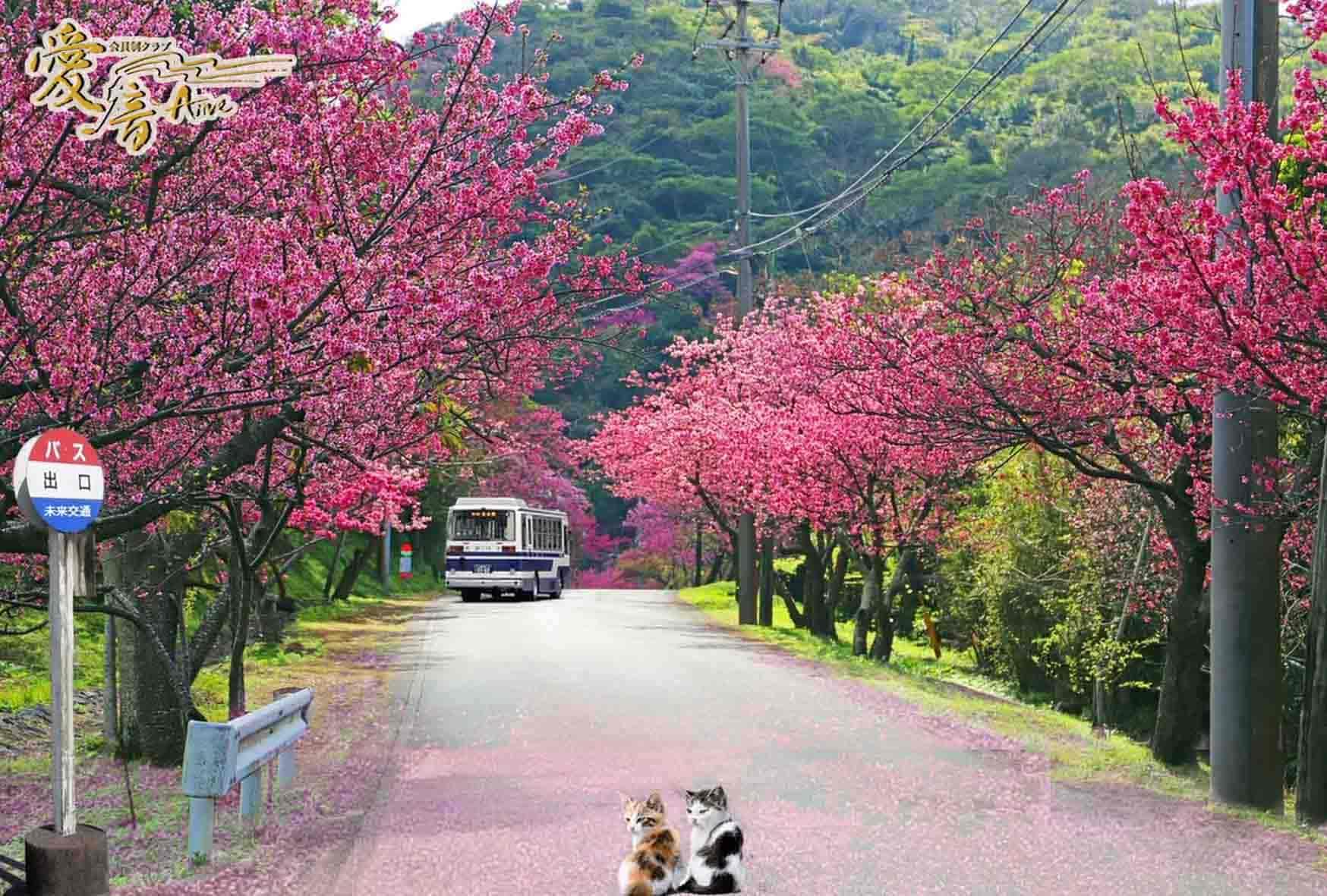 寒緋桜の花言葉は「あでやかな美人」👸🌸
